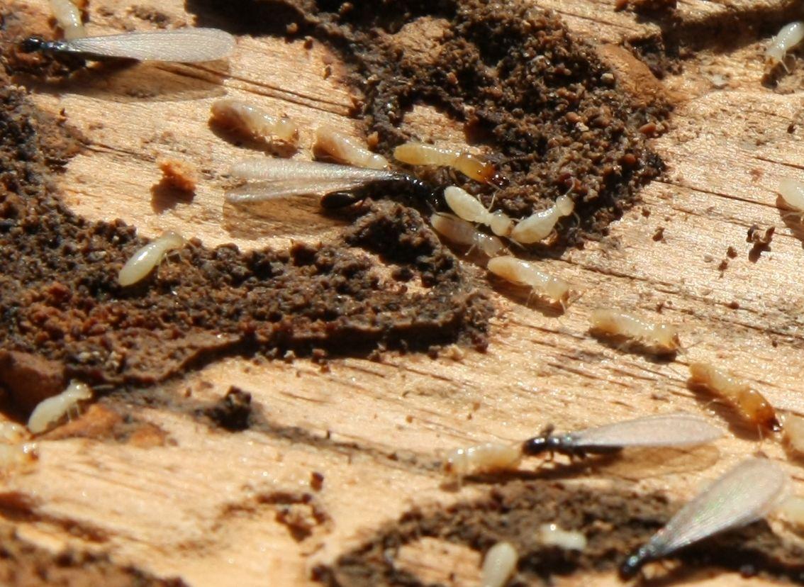 Expertos en eliminar plagas de termitas expertos en for Polilla madera imagenes